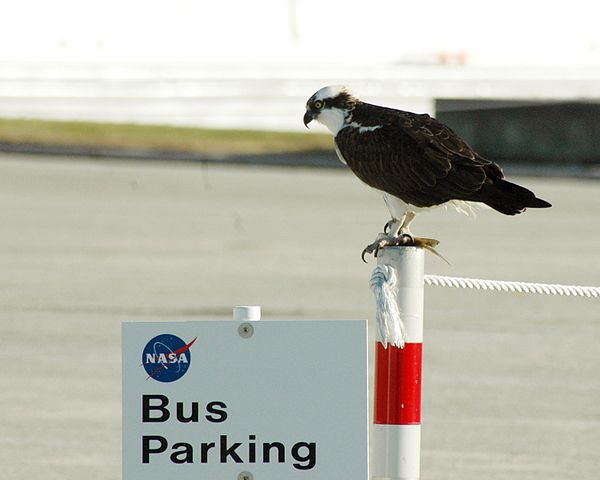 "Bus parking?  Please.  It's osprey parking now, buddy. ""Osprey on a peg"". Licensed under Public Domain via Wikimedia Commons."