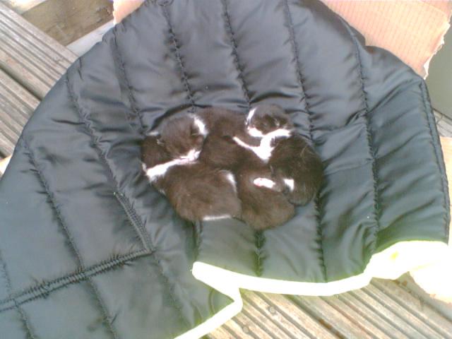 C&W_kittens_(544411242)