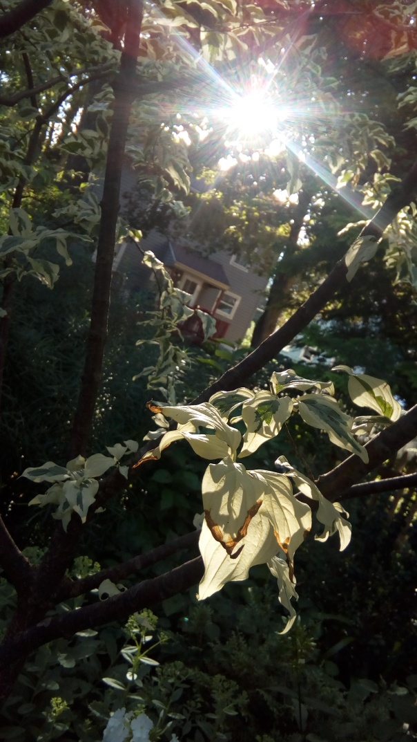 A late ray of sun slanting down through the variegated leaves of a small tree, with a house in soft focus behind.