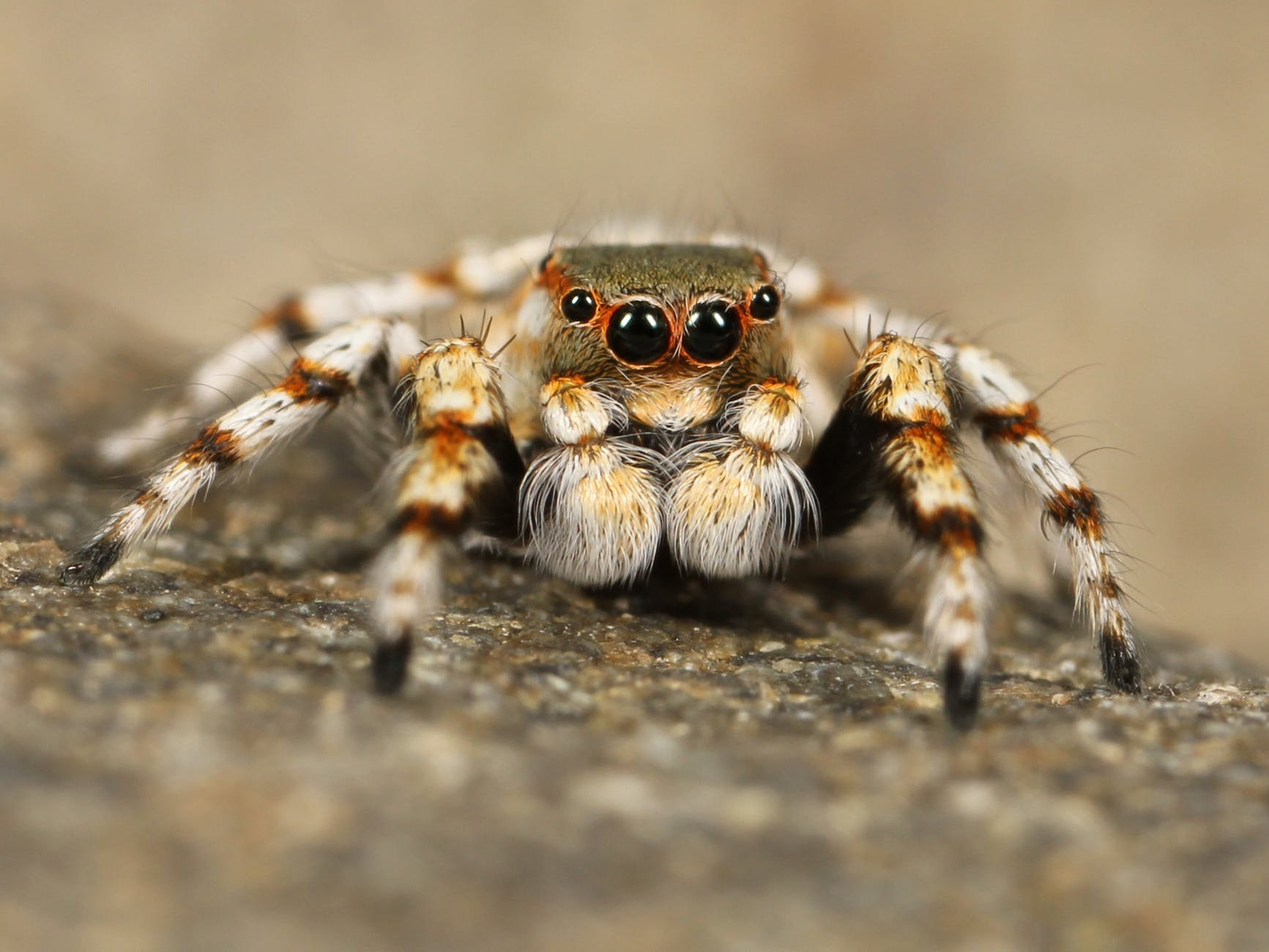 jumping-spider-tarantula-bird-spider-insect-68186.jpeg