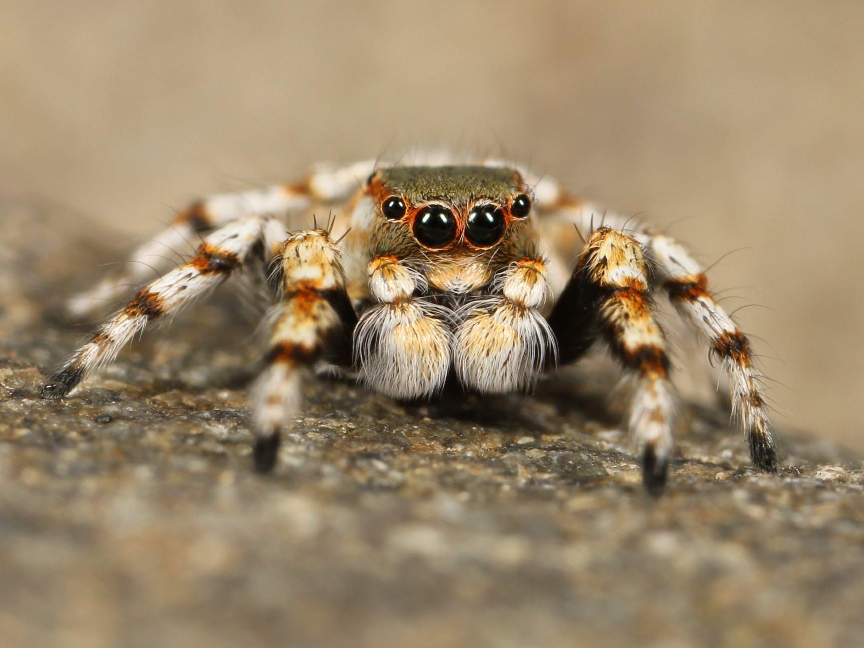 jumping-spider-tarantula-bird-spider-insect-68186.jpeg