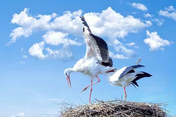 stork-bird-animal-fly.jpg