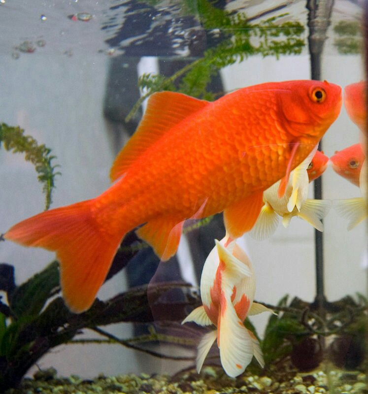 A bright orange goldfish gazes out of its tank while other fish swim behind it.