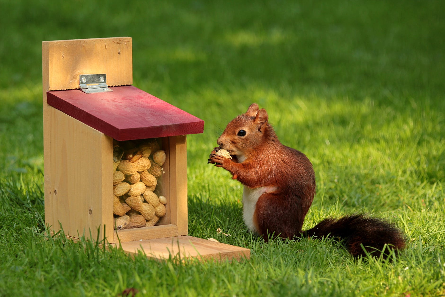 Against a background of grass, a squirrel eats a peanut while sitting next to a squirrel feeder full of peanuts.